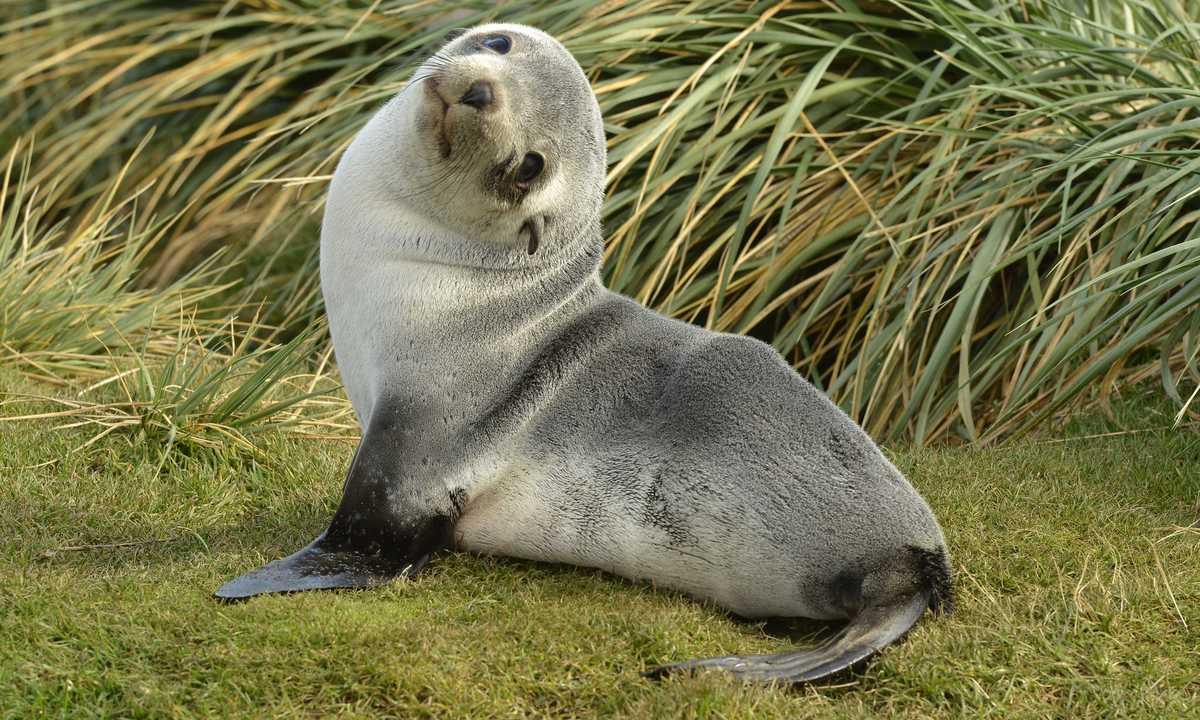 Swo_5_John-Newby_ALL_South-georgia-baby-fur-seal