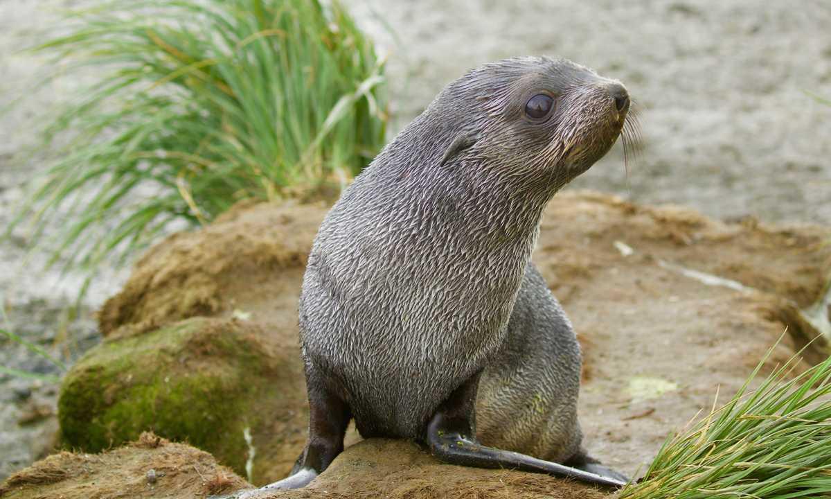 CUS_3_Jane-Kelley_PRIV_antarctic-fur-seal-pup-e