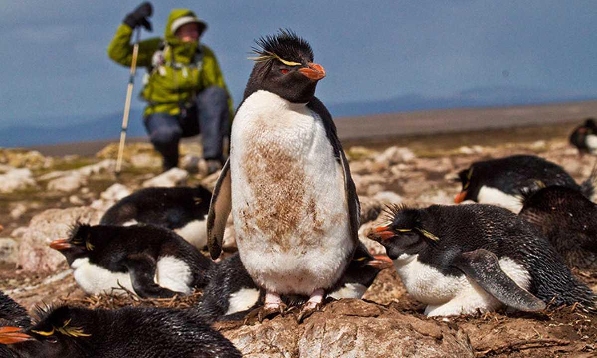 FTB_3_FTB_ALL_Rockhopper-penguins-traveller2