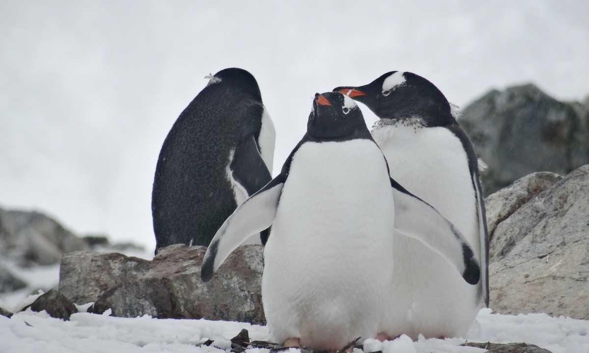 JN_3_JN_ALL_gentoo penguin family EDIT