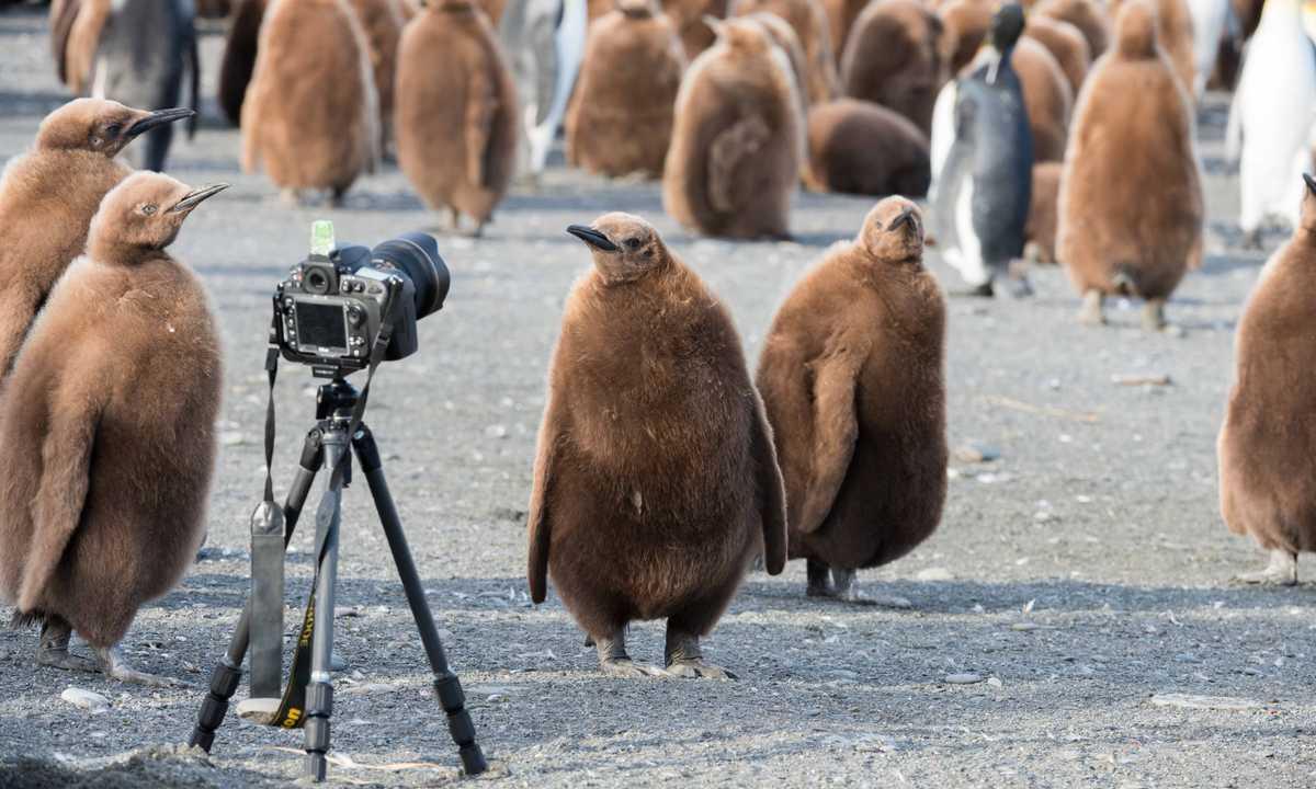 PL_3_PL_RTD_FSG_king_penguin_chicks_camera-e