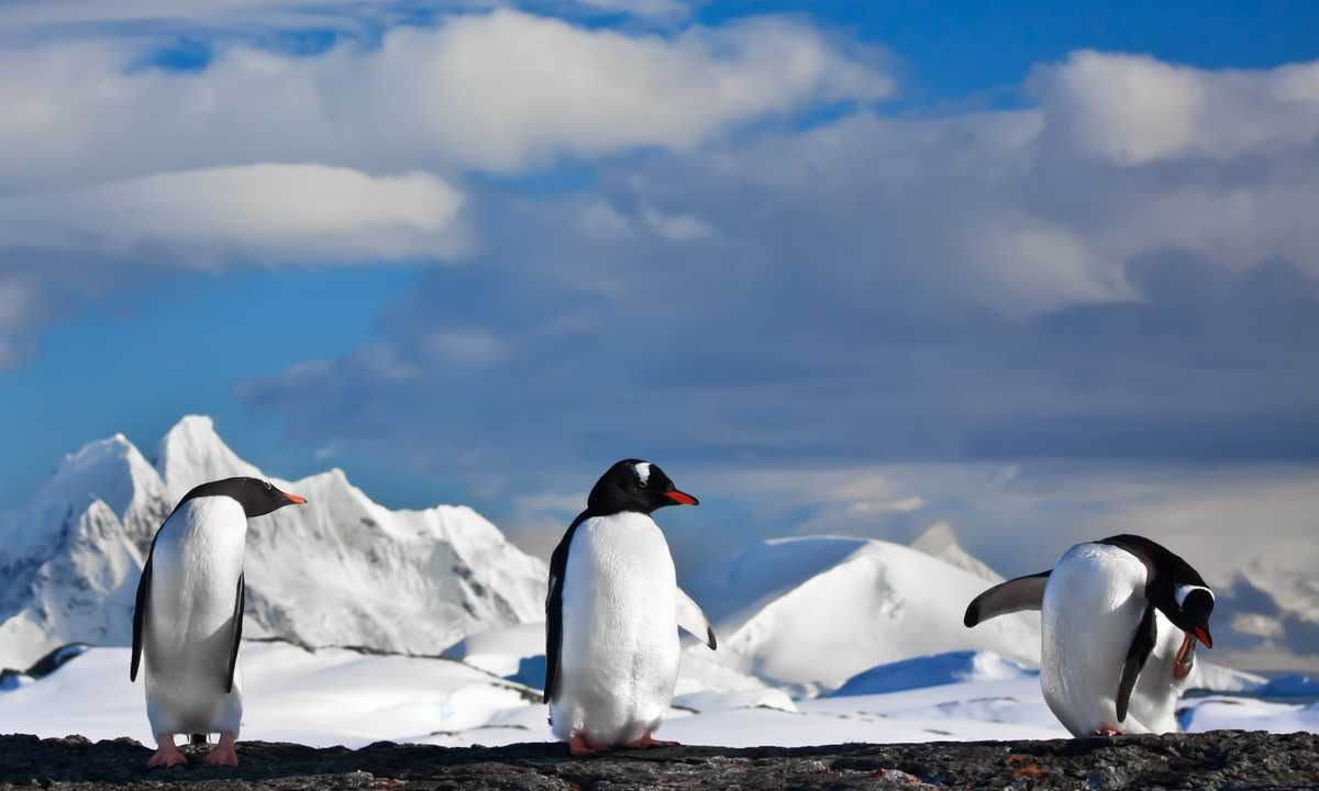 SHU_4_SHU_ALL_Gentoo penguins Antarctica-e2