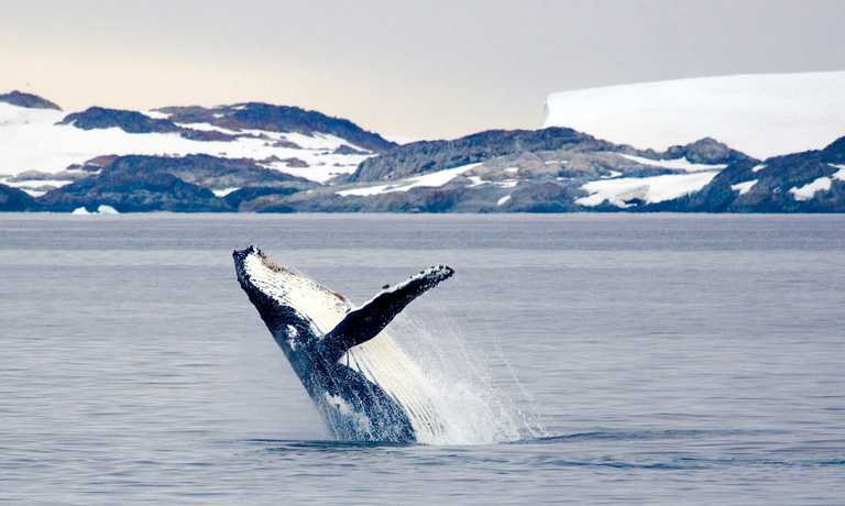 Antarctic Whale Safari
